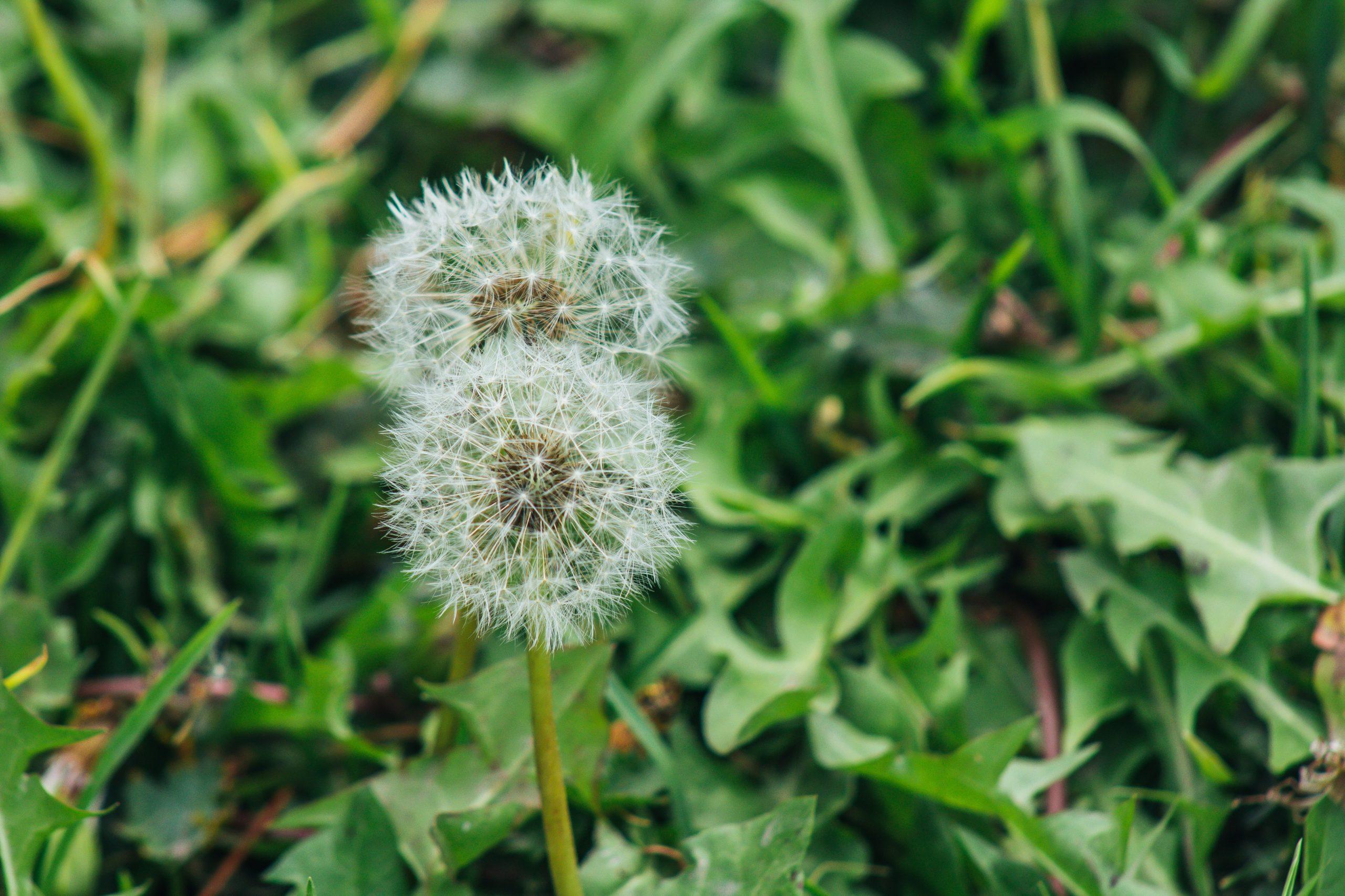 Iron source: Dandelion Seeds with Dandelion greens