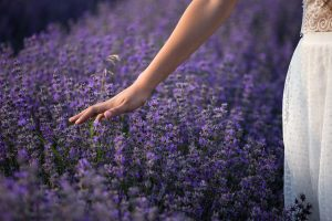 Woman's hand brushing against purple lavender plants